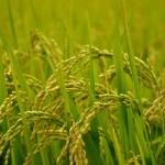 玄米の食べ方|玄米は体にいい完全栄養食品です!