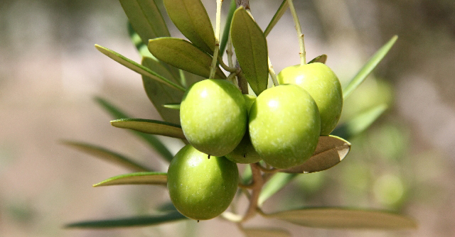 olive12