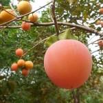 柿の葉茶・柿茶の効能効果と作り方|ビタミンCはトップクラス