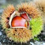 栗の栄養と効能|栗の渋皮には美肌効果がある反面・・・