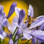 マヌカハニーは危険な蜂蜜?副作用の心配はないの?