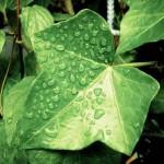 強力な空気清浄効果がある観葉植物は何ですか?