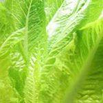 ロメインレタスの栄養と食べ方|そのまま食べれるシーザーサラダ